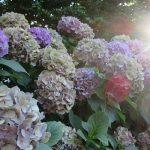 暑いですっ💦。がっ、私には観察しなきゃならないものあり。たとえば、色あせた「紫陽花」、梅雨明け後の「立葵」とか。/旧暦5/21・丁酉