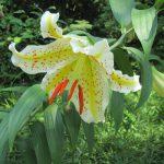 夏の華やぎ百合の花。7月は、いつもの庭園・公園・植物園が未踏、山ゆり、鬼ゆり…まだ見てない。むーん(;_:)/旧暦6/14・己未
