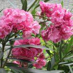 夾竹桃は広島市の花。真夏の空に咲くのを見上げ、思うのは、今日の広島平和記念日のこと。/旧暦6/25・庚午
