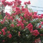 8月ですっ!一瞬涼しかった夏も、元の木阿弥な猛暑に。そんななか「百日紅」最盛(*'▽')。/旧暦6/20・乙丑