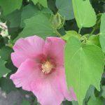暑さ揺り戻しかっ!と警戒したけど夏パワーは薄らいで…となると秋の花より夏の「芙蓉」とか。/旧暦7/12・丙戌