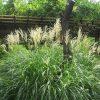 秋の七草5つ目は「芒」「薄」…「すすき」です。山上憶良的には「尾花」ですが、うーんまだその域まで育ってはないんだなぁ。/旧暦7/26・庚子