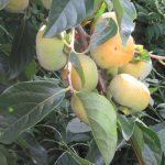 故郷の柿は、今年も豊作、熟すまでもう少し。…見てたら食べたくなっていただく。いただいてしまう😊。/旧暦8/21・乙丑
