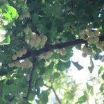 七十二候「禾乃登」の時期には「銀杏」がたわわに。たぶん稲と同時期ぐらいに熟すハズ。/旧暦7/27・辛丑