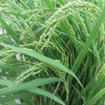 七十二候は「禾乃登」の時期です。暦が穀物の実る時期といったら、遭遇しましたカミサマの稲(◎_◎;)に!/9/2=旧7/23・丁酉