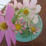 母の庭からもらったコスモスのその後。長く元気に咲き続けましたっ😊。華奢ななりしてさすがっ!/旧暦9/3・丙子