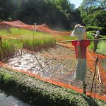 七十二候は「水始涸」に。そんな日々に、東京都心のなじみの田んぼが、今日、稲刈りなんだって in 小石川後楽園/旧暦8/25・己巳