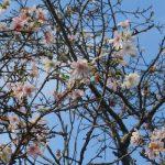 なんと!すでに十月桜に、冬桜まで開花(◎_◎;)。やっと涼しいと思ったら、秋が去りゆきつつあるの?/旧暦9/14・丁亥