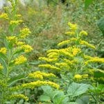 二十四節気は「霜降」に。となると計ったように生えてくるのがこの花、「背高泡立ち草」。/旧暦9/15・戊子