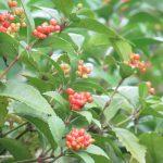 都心だというのに、なんかすごいなぁと思ったんで一挙に。今頃、眺められる野生の実り「赤い実編」 in 皇居の庭/旧暦9/17・庚寅