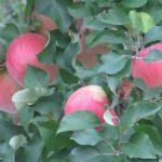 ただいま母の家に帰省中。まず目につくのはりんごの実り。フジりんごの旬が目前ですっ!/旧暦9/21・甲午