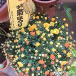 七十二候は「菊花開」に。で、今年は、谷中菊まつりの縁起物とともに、この日々を迎えましたっ!ふふふっ( *´艸`)。/旧暦9/5・戊寅