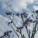 七十二候「菊花開」だし、今日は旧暦・重陽の節句だし。となれば「野菊」もあれこれ咲きだして…るはず。/旧暦9/9・壬午・上弦