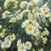今回の東北帰省土産は、やっぱり菊😊。母の庭では、ただいま菊が満開でしたっ!/旧暦9/25・戊戌