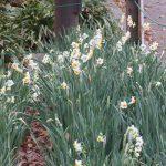 七十二候は「金盞香」に。うーん、まだ咲いてません。例年どおりなら東京の「水仙」はあと半月後かな?/旧暦10/10・癸丑