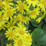 ふと見れば、黄色い「石蕗(つわぶき)」が咲いてました。この花は冬告げ花。そういえば明日は立冬。…冬かぁ。/旧暦9/29・壬寅