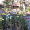 次なる菊まつりは、向島へ。江戸からつづく百花園のそれは、シックで粋です。/旧暦10/12・乙卯