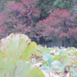 二十四節気は「立冬」。暦は、とうとう「冬」というコトバを持ち出しました。ヒトは秋と冬のあわいを楽しみます。/旧暦9/30・癸卯