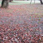 七十二候は「地始凍」に。暦が「大地が凍る」という頃の東京は、落ち葉で地面が覆われはじめの頃…かなぁ。/旧暦10/5・戊申