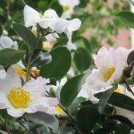 七十二候は「山茶始開」に。確かに、ピンク&白系が咲き始めてます。これも冬告げ花にして、冬の彩りの花。/旧暦10/1・甲辰・新月!