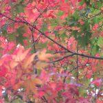 江戸人の目安なら「立冬」から数えて遅くとも15~6日…のはすが、ひと月すぎてやっと楓(かえで)の見ごろ。/旧暦10/28・辛未
