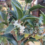 七十二候は「乃東生」に。「乃東(なつかれ)草」の芽生えはないけど、ひっそり咲く「柊の花」に遭遇😊。/旧暦11/19・辛卯