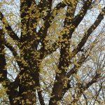 ああ、これも東京の年末の景色と思う。銀杏の黄葉が散って、空に美しいレースと大地の絨毯/旧暦11/20・壬辰