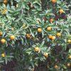 七十二候は「橘始黄」に。暦がそう言いだすと、これはぴったり、界隈は、冬柑橘が色づく街に。/旧暦10/25・戊辰