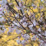 銀杏の黄葉も最終コース。となれば…の、冬桜のピンクとのコラボも間に合いましたっ(*´艸`*)。/旧暦11/4・庚辰