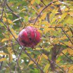 黄色く色づいた中に、シックな赤…はなに? ああ、冬空の中、柘榴の実がいい感じに枯れつつあります。/旧暦11/10・壬午