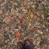 七十二候は「朔風払葉」に。今年は「木枯らし一号」も吹かない暖かさ。払われる木の葉も少ない…かな?/旧暦10/24・丁卯