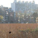 七十二候は「雉始鳴」に。雉(きじ)かぁ…と、近場の野鳥スポットへ出かけてみるも、鳴き声どころか存在すらなし。ホントに日本の国鳥なの?/旧暦12/14・丙辰
