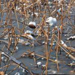 七十二候は「水沢腹堅」に。さすが寒さの底「大寒」らしい暦のコトバ。確かに昨日は雪、不忍池は凍ってるかも。/旧暦12/17・丁丑・満月