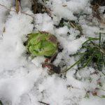 七十二候は「欸冬華」に。暦は、「寒の内」に「欸冬=蕗」、地味な「蕗の薹」の出始めに「華」を持ってきて、次の季節につなぐ工夫..かな😊?/旧暦12/16・戊午