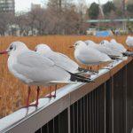 七十二候は「鴻雁北」に。と暦が言えば、渡り鳥が北へ帰る頃です。雁は来なかったけど、鴨たちは来て、すでにユリカモメたちはいない😢/旧暦3/7・戊寅