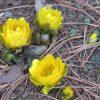 今日は旧暦の1月1日。古い暦もやっとお正月です。…となれば、不思議と目に付くこの花「元日草」。/旧暦1/1・癸酉