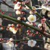 「立春」過ぎたら、東京では「梅まつり」スタート。まずは湯島の天神さまの境内へ。そのあとあちこち眺めて楽しむ予定。/旧暦1/3・乙亥