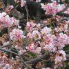 七十二候は「魚上氷」に。古い暦がこういい出したら、東京の桜リレーは密かにスタート。まずは寒桜🌸/旧暦1/10・壬午