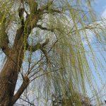 不忍池のやなぎの枝。あらら、すでに新芽の緑に覆われて、ちょっと早すぎない?と突っ込むも、桜をはじめ樹々花々の変化が早回しの春です。/旧暦2/13・乙卯