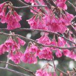 今日は春彼岸入りです。早っ(◎_◎;)。となれば、染井吉野より早咲きの「上野桜図鑑Ⅰ」だけでもせめてここにっ🌸。/3/18=旧2/12・甲寅