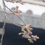 東京での「染井吉野」開花予報は、彼岸のさなか。ってことで、彼岸帰省前には、せめて我が染井吉野の標本木を観察!/旧暦2/14・丙辰