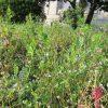 「春に三日の晴れ無し」のとおり、雨の日のち晴れの日々。おかげで春雑草もずいぶん伸びて咲きだしました。/旧暦2/3・乙巳