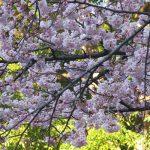 古い暦は「桃始笑」と、桃の花の開花に着目しますが、リアルは桜の開花リレーが「寒桜」⇒「大寒桜」へ。そして、「緋寒桜」もそろそろと咲く🌸。/旧暦2/7・己酉