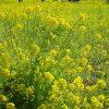 七十二候は「菜虫化蝶」に。暦がフォーカスするのは菜虫=青虫なのに、ココロに浮かぶのは菜の花畑。/旧暦2/10・壬子