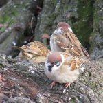 七十二候は「雀始巣」に。暦は「雀が巣作りを始める頃」と言うけれど、いったいどこで子育てしてるんだろねぇ。/3/22=旧2/16・戊午