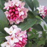 ふぁ~っと懐かしい香りに振り向いた。ああ、沈丁花だ!一年ぶりだね久しぶり、元気だった…とか言ってる春本番まじか(*'∀')/旧暦1/29・辛丑