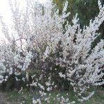 春彼岸の東京は、桜開花のニュースが。一方、帰省先の福島は、約半月遅れで、まだまだ梅の季節です。満開(*'∀')。/旧暦2/17・己未