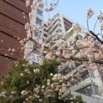 七十二候は「櫻始開」に。っても今年の東京の桜、暦を(…私の帰京も)待たずに咲いちゃったんだけどねぇ🌸/旧暦2/23・乙丑
