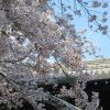染井吉野と同期の桜。探しに探しましたっ!「上野公園桜図鑑 Ⅱ-②」ですっ🌸/旧暦2/29・辛未