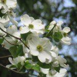 東京の街でいちばん本数が多い街路樹が「花水木」と知ったら、我が街のそれが「花水木」という灯台下暗し、ふふふっ(*´艸`*)。/旧暦3/26・丁酉